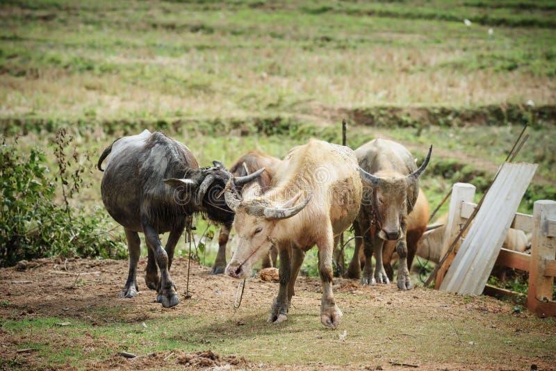 Grupo de búfalos de agua en granja tailandesa imágenes de archivo libres de regalías