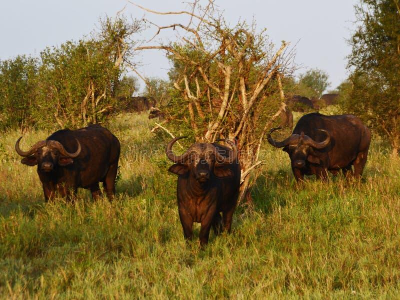 Grupo de búfalos, Kenia, África fotos de archivo