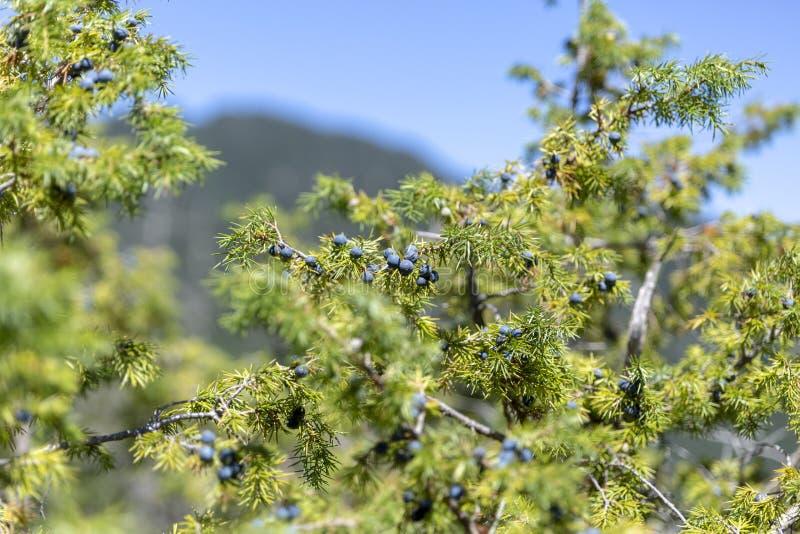 Grupo de bagas de zimbro em um ramo verde no outono foto de stock