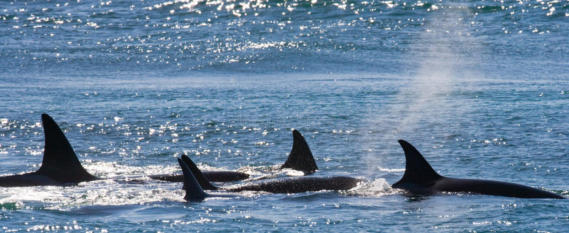 Grupo de baleias de assassino na água Aleta dorsal de Wieden Península Valdes argentina imagens de stock royalty free