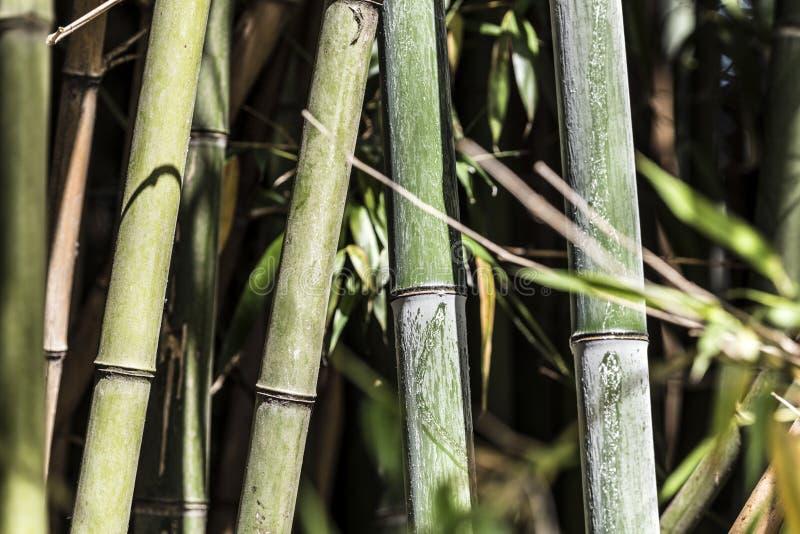 Grupo de bambú verde 4 de los bastones fotografía de archivo libre de regalías