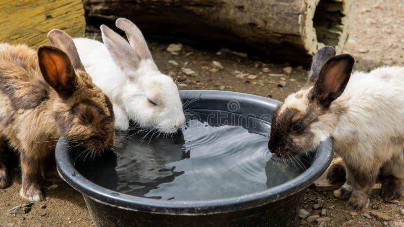 Grupo de bebidas do coelho alguma água na bacia fotos de stock royalty free