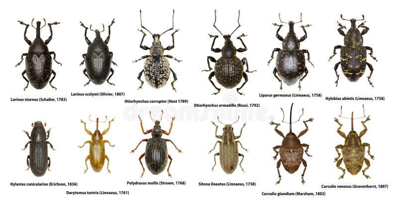 Grupo de besouros da broca de Europa imagens de stock