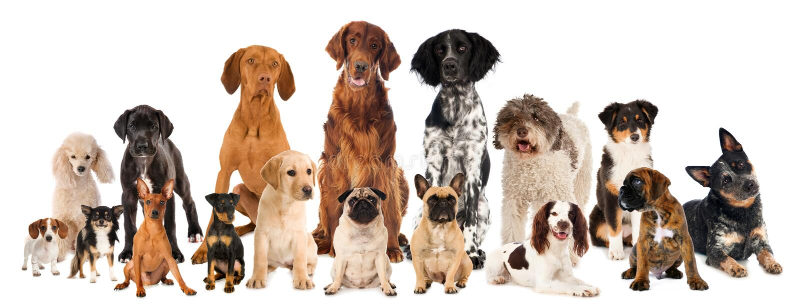 Grupo de cães da raça isolados imagem de stock