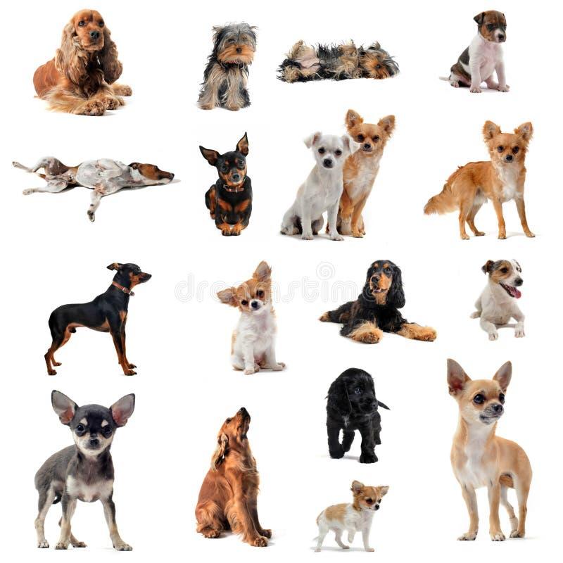 Grupo de cães pequenos foto de stock
