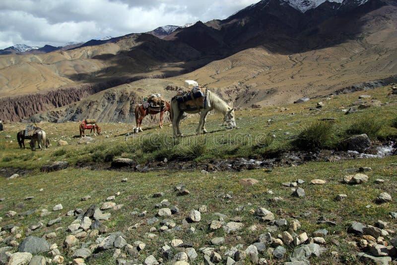 Grupo de caballos del senderismo en la hermoso de la montaña foto de archivo libre de regalías