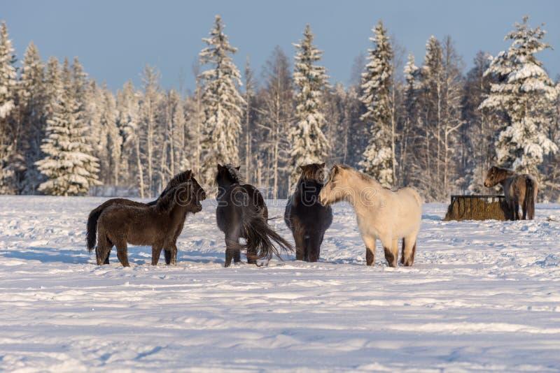 Grupo de caballos islandeses en nieve fotografía de archivo