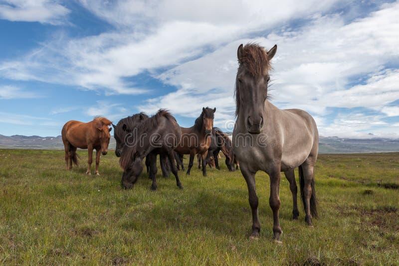 Grupo de caballos islandeses hermosos del marrón fotografía de archivo
