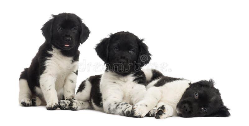 Grupo de cachorrinhos de Stabyhoun em seguido, isolado imagem de stock
