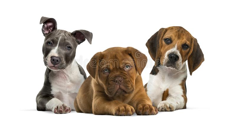 Grupo de cachorrinhos que encontram-se contra o fundo branco imagens de stock royalty free