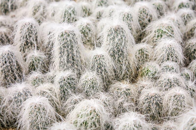 Grupo de cacto espinhoso peludo do ancião foto de stock royalty free