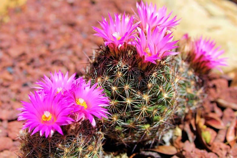 Grupo de cactus del acerico con las flores foto de archivo