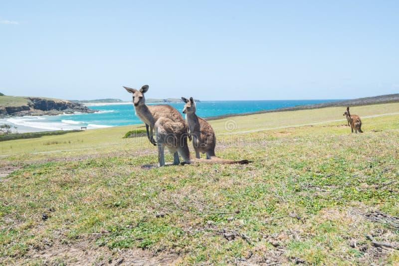 Grupo de canguru no fundo Coffs Harbour do campo e do mar fotos de stock