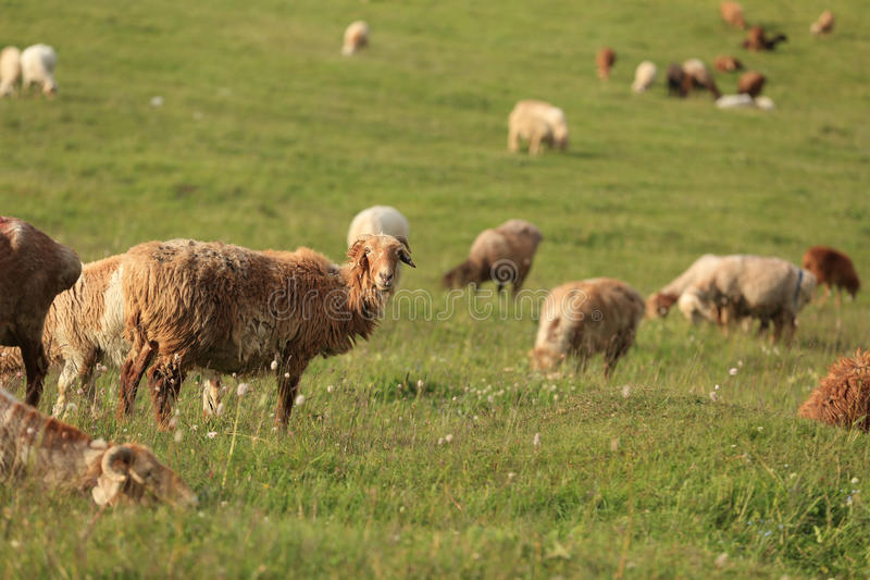 Grupo de carneiros imagens de stock