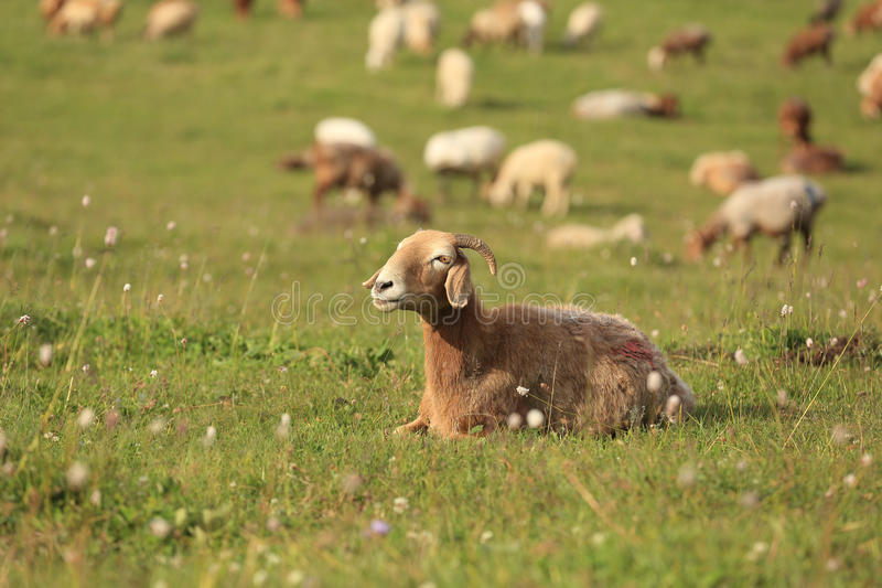 Grupo de carneiros fotografia de stock