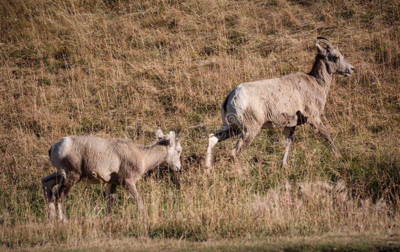 Grupo de carneiros grandes do chifre foto de stock