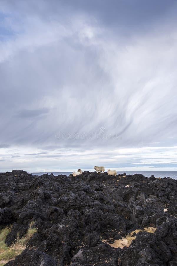 Grupo de carneiros islandêses imagem de stock royalty free