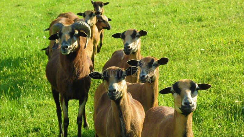 Grupo de carneiros no pasto fotos de stock royalty free
