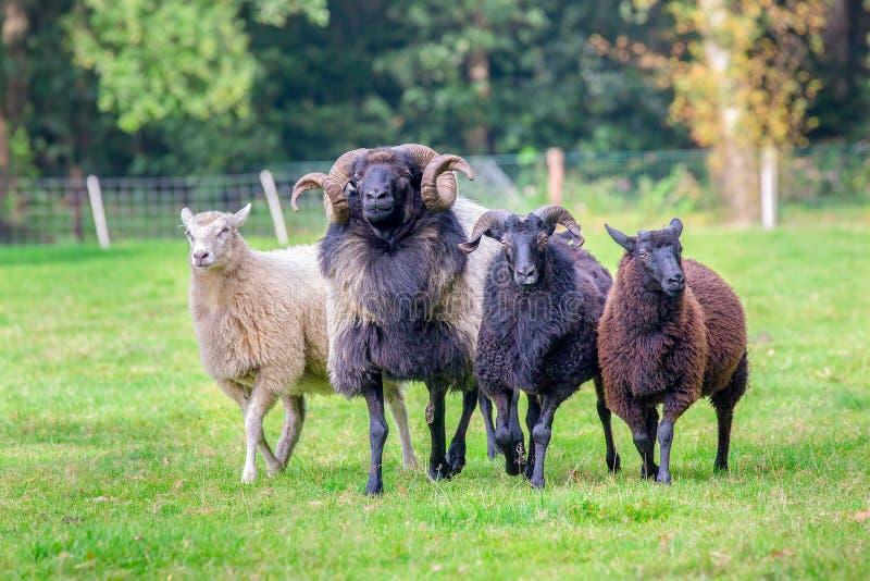 Grupo de carneiros que andam junto no prado fotografia de stock