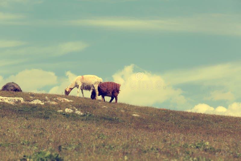 grupo de carneiros que andam na montanha fotografia de stock