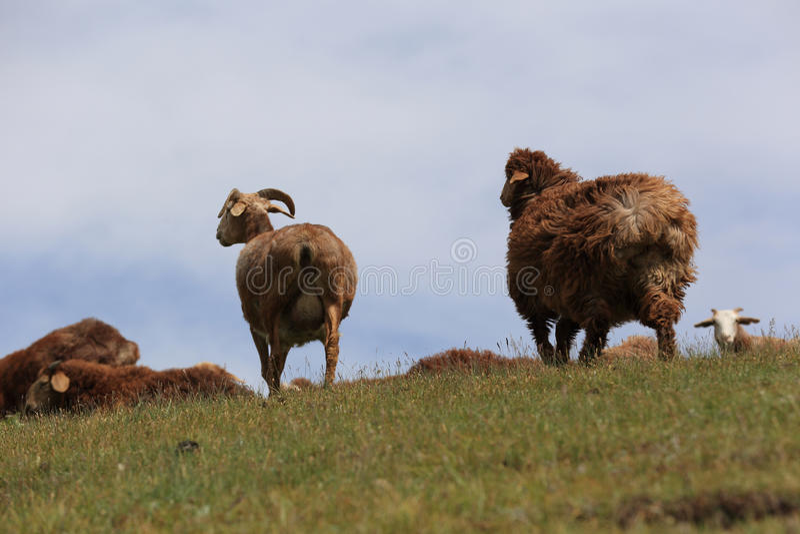grupo de carneiros que andam na montanha foto de stock