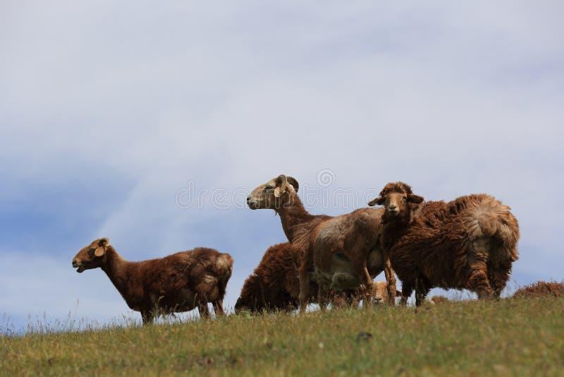 grupo de carneiros que andam na montanha fotografia de stock royalty free
