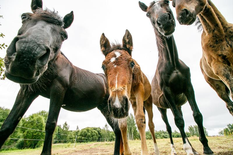 Grupo de cavalos no estábulo imagens de stock