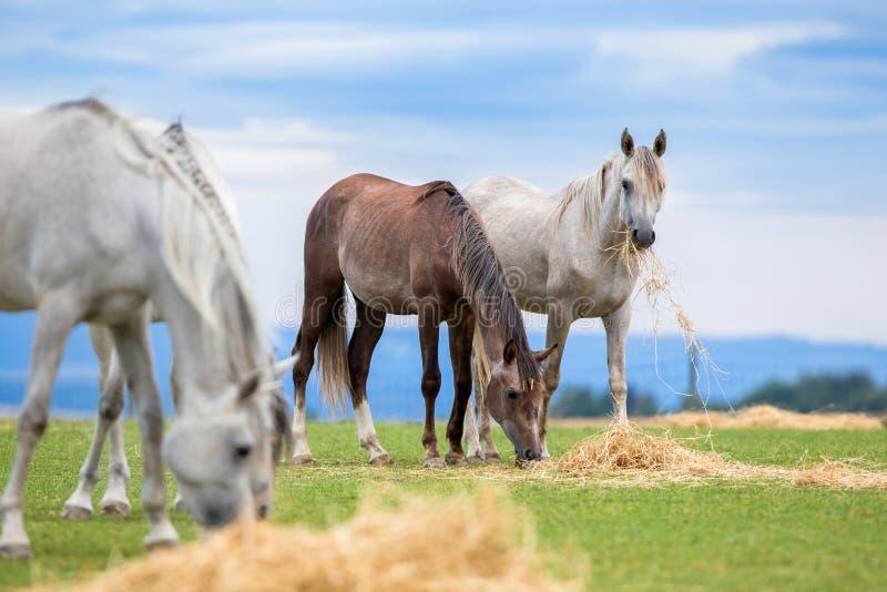 Grupo de cavalos novos que comem o feno no pasto no ver?o foto de stock