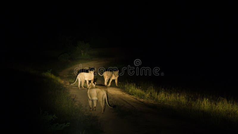 Grupo de caza de los leones imagen de archivo libre de regalías