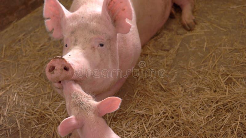 Grupo de cerdos fotografía de archivo