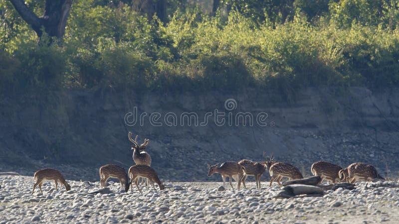 Grupo de cervos manchados em Nepal imagens de stock royalty free