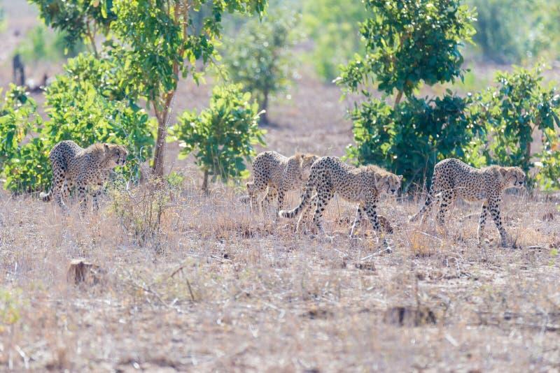 Grupo de chita na posição de caça pronto para ser executado para uma emboscada Parque nacional de Kruger, África do Sul foto de stock