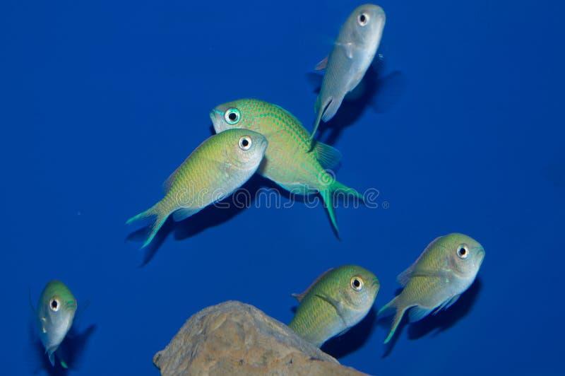 Grupo de Chromis azul verde foto de stock royalty free