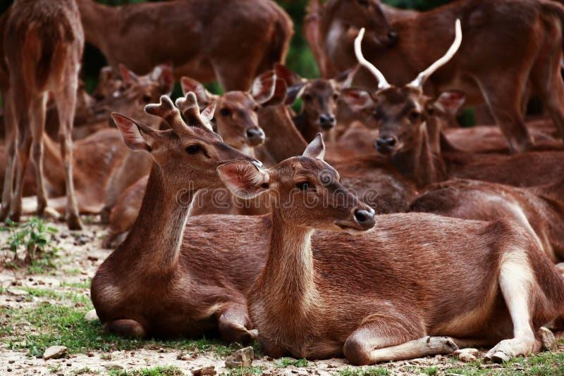 Grupo de ciervos fotografía de archivo libre de regalías