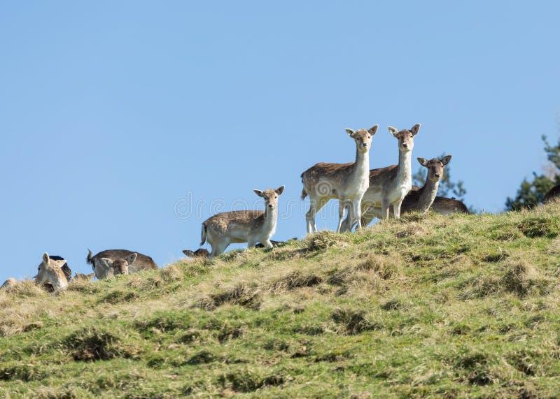Grupo de ciervos en barbecho fotos de archivo