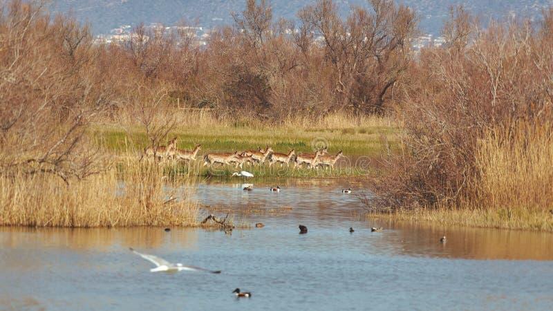 Grupo de ciervos en barbecho en un parque nacional en el lago en la primavera imágenes de archivo libres de regalías
