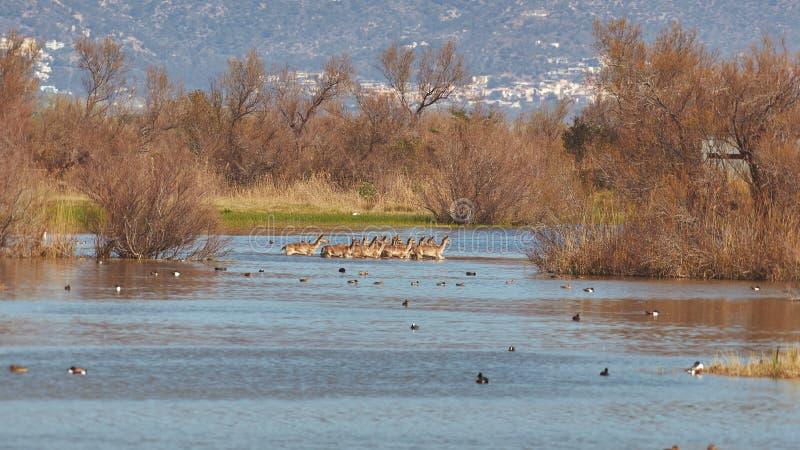 Grupo de ciervos en barbecho en un parque nacional en el lago en la primavera imagen de archivo
