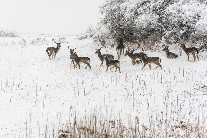Grupo de ciervos en invierno fotografía de archivo libre de regalías
