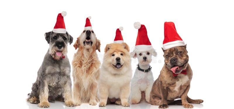 Grupo de cinco cães que vestem a ânsia dos chapéus de Santa imagens de stock royalty free