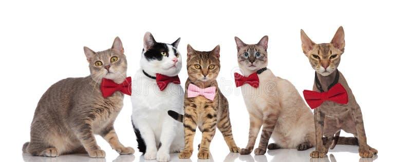 Grupo de cinco gatos bonitos com bowties cor-de-rosa e vermelhos foto de stock