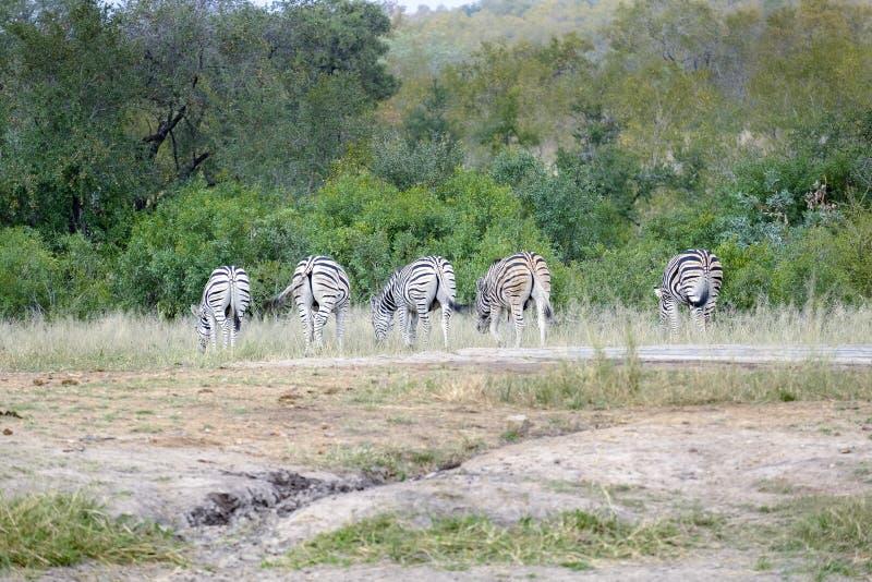 Grupo de cinco zebras africanas no selvagem fotografia de stock royalty free