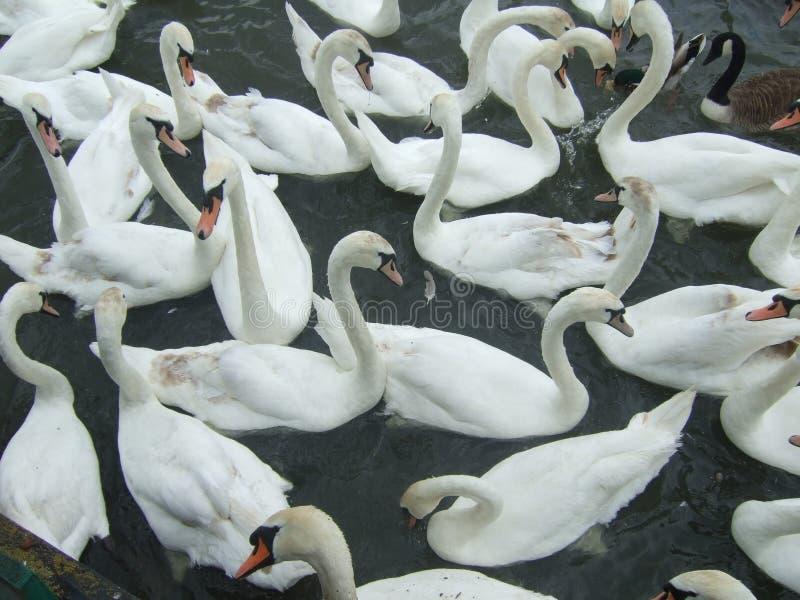 Grupo de cisnes imagenes de archivo