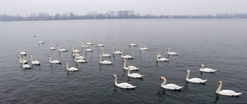 Grupo de cisnes foto de archivo libre de regalías