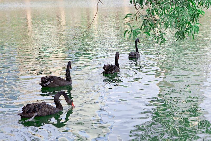 Grupo de cisnes negros imagenes de archivo