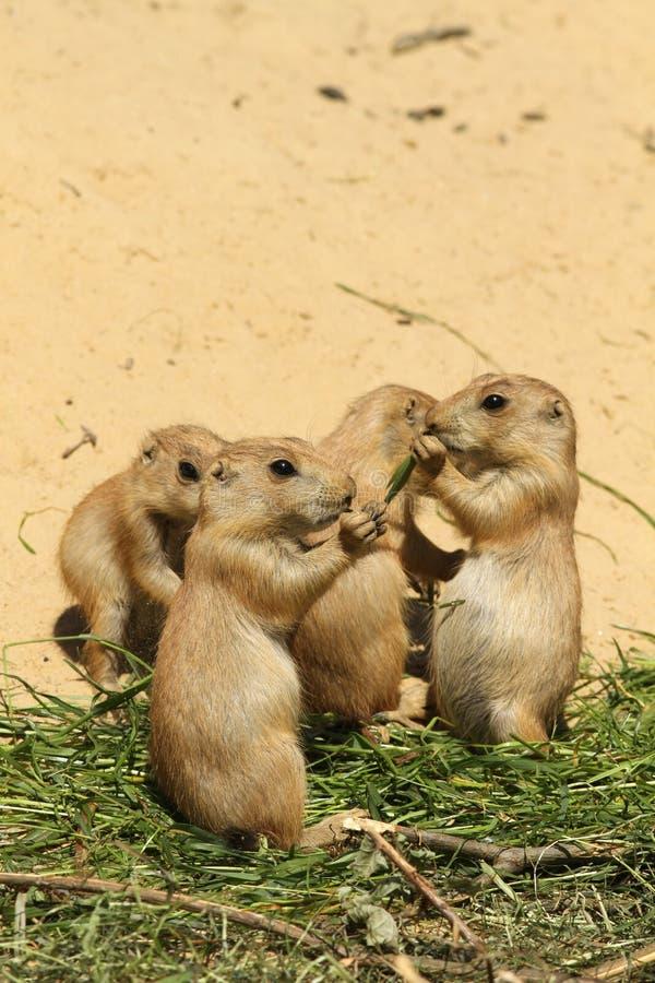 Grupo de comer pequeno dos cães de pradaria do bebê fotos de stock