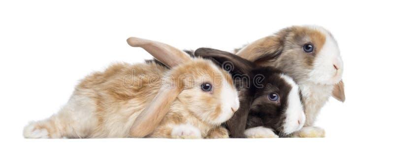 Grupo de conejos de Mini Lop del satén que mienten, aislado imagen de archivo libre de regalías