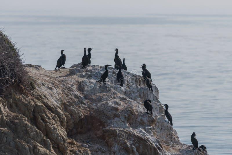 Grupo de cormoranes Doble-con cresta en el EL Matador State Beach en Malibu imágenes de archivo libres de regalías