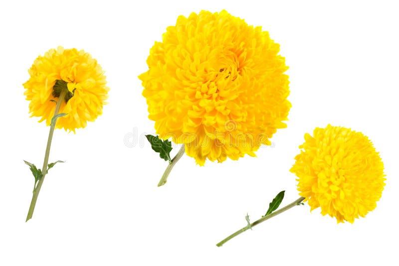 Grupo de crisântemos amarelos isolados no bachground branco no dif fotografia de stock