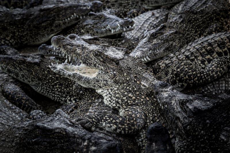 Grupo de crocodilos imagens de stock