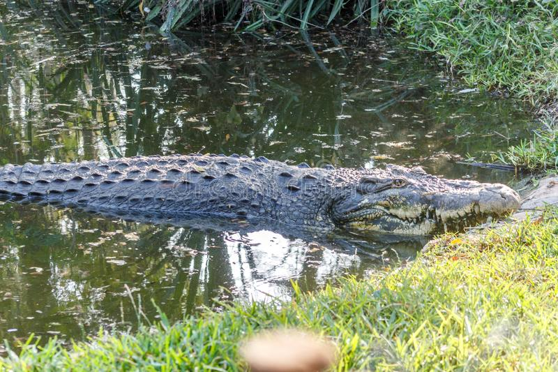 Grupo de crocodilos ou de jacarés ferozes que tomam sol no sol fotografia de stock royalty free